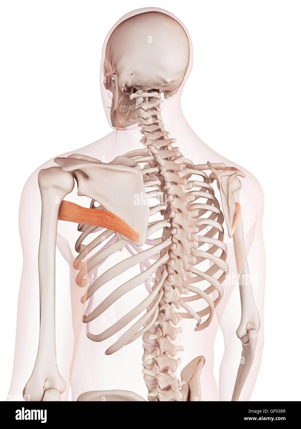 Niedlich Menschlicher Rückenmuskel Diagramm Fotos - Physiologie Von ...