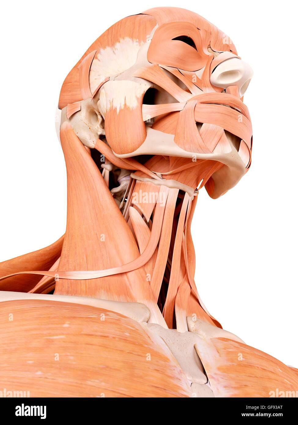 Menschliches Gesicht und Hals-Muskeln, Abbildung Stockfoto, Bild ...