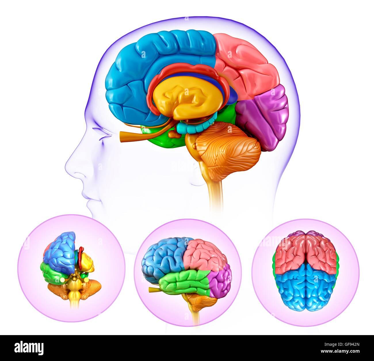 Darstellung der Anatomie des menschlichen Gehirns Stockfoto, Bild ...