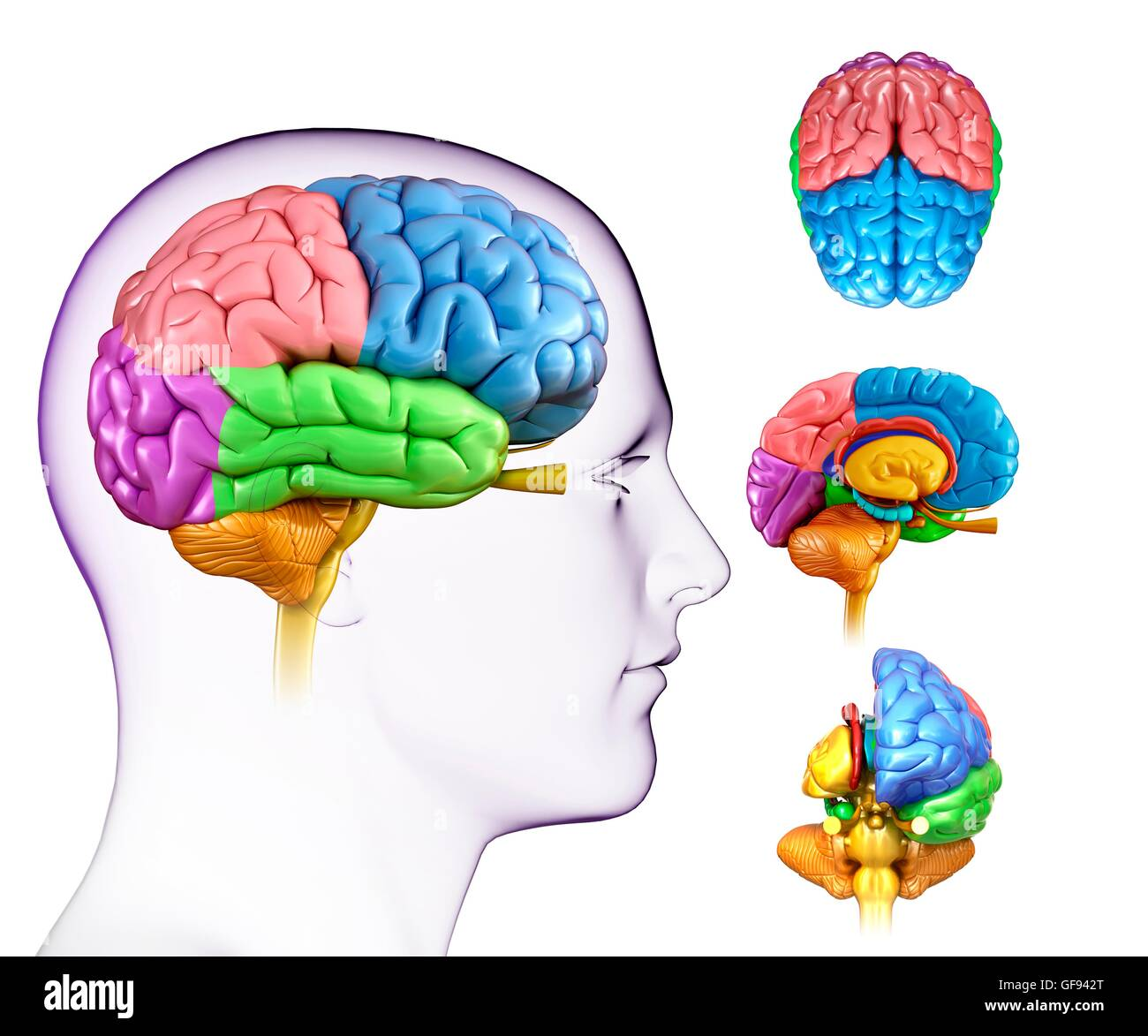 Temporal Lobes Stockfotos & Temporal Lobes Bilder - Alamy