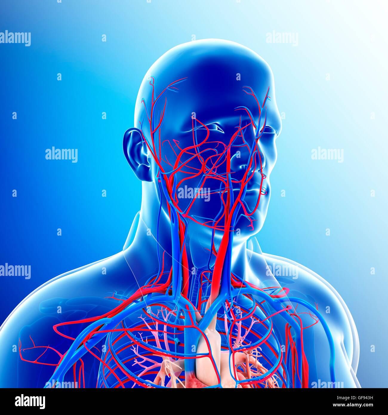 Darstellung der männlichen Kopf und Hals Blutgefäße Stockfoto, Bild ...