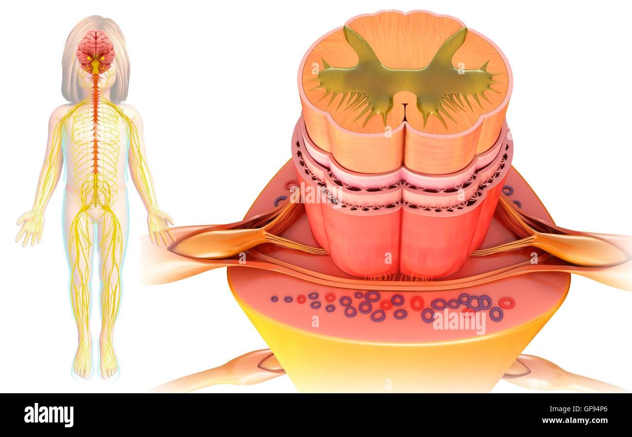 Illustration von Rückenmark Querschnitt Stockfoto, Bild: 112683374 ...
