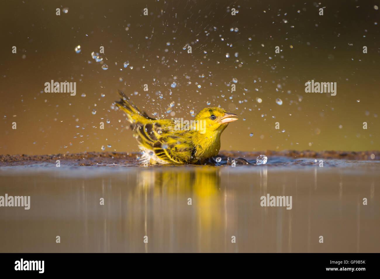 Gelb fronted Canary Crithagra Mozambica Baden und Spritzwasser in ein Planschbecken Stockbild