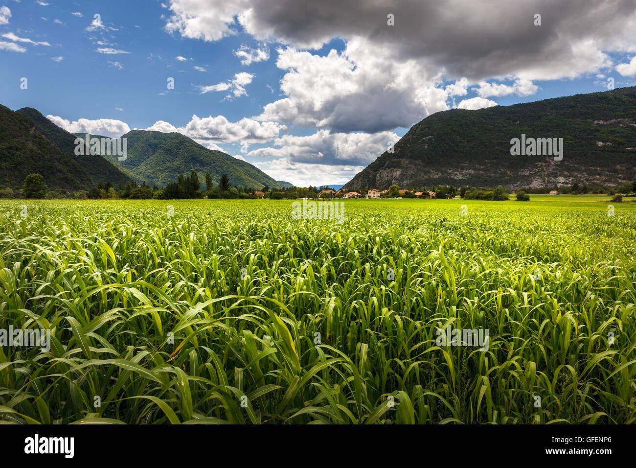 Kornfeld im Sommer in der Nähe von Montmaur, Devoluy Region Hautes Alpes, südlichen französischen Stockbild