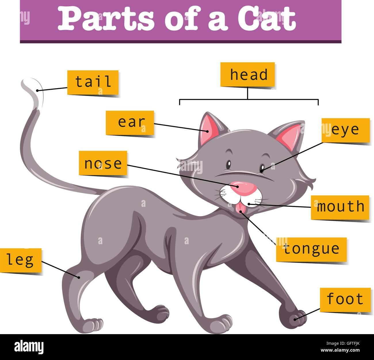 Erfreut Weibliche Katze Anatomie Diagramm Fotos - Anatomie Von ...