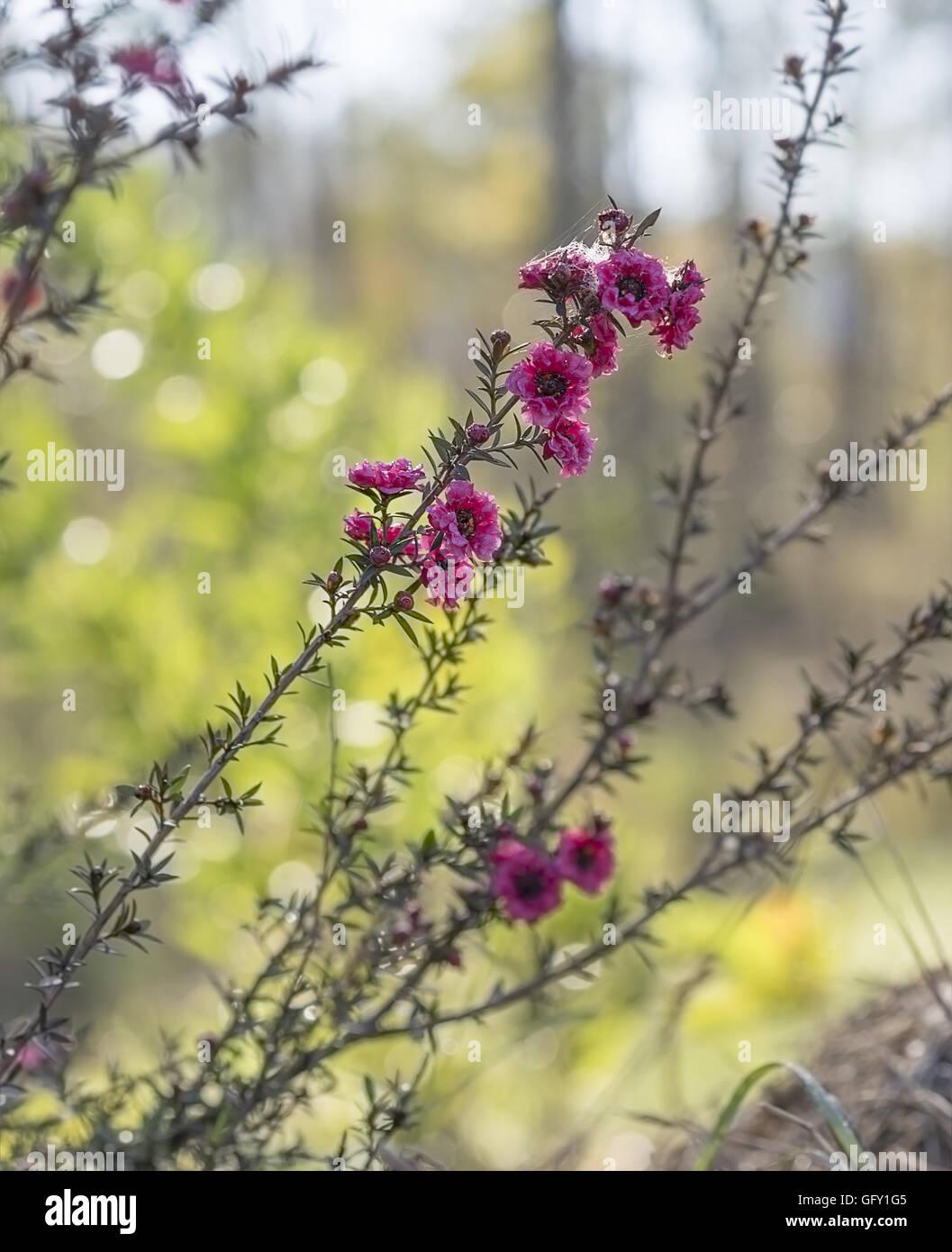 Leptospernum Scoparium Burgund, roten kleinen australischen einheimischen Blumen blühen im winter Stockbild