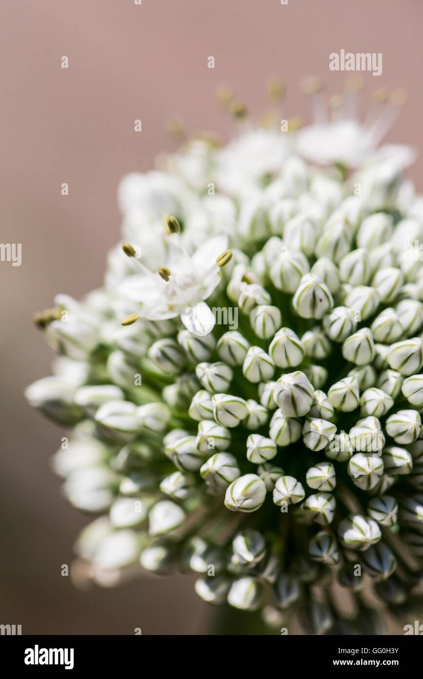 Die kugelförmigen dolde von weißen Blumen an die Zwiebel (Allium Cepa) Stockbild