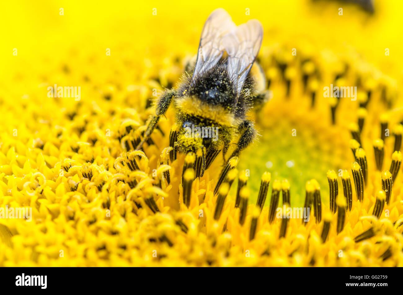 Bienen im Garten, in Voorschoten Holland Stockbild