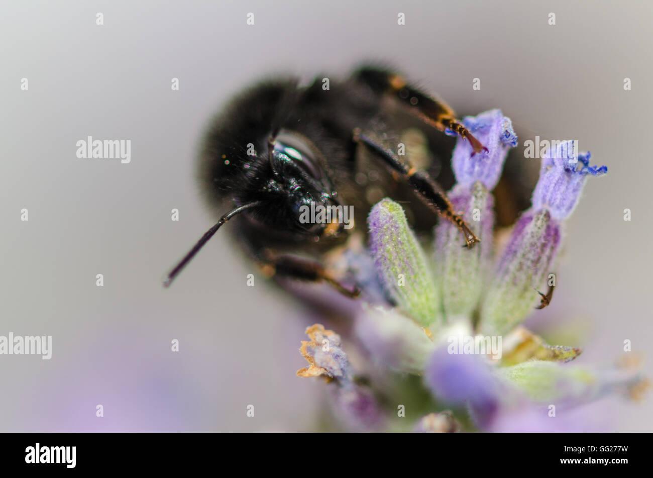 Bienen im Garten auf lavendel Pflanze Stockbild