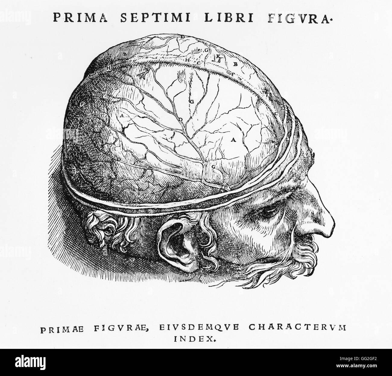 Dissektion Studie der ersten Schicht des Gehirns. Gravur Zoll \