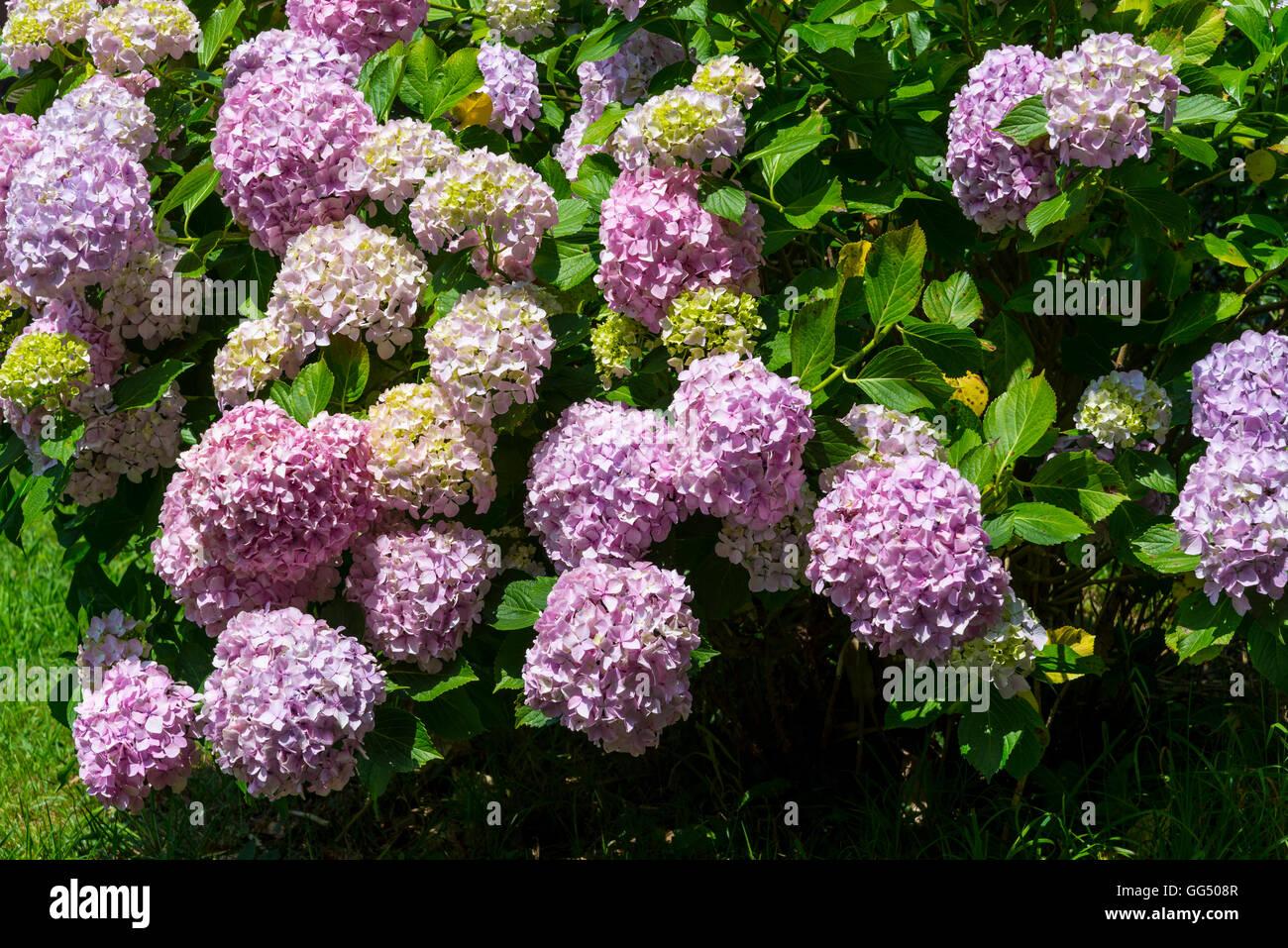 Hortensie Strauch in voller Blüte Stockfoto
