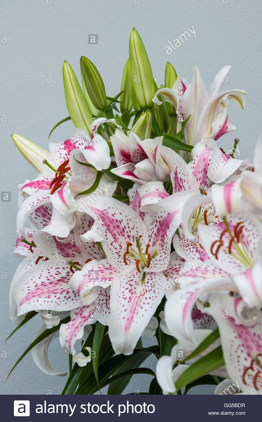 """Lilium orientalische Hybriden """"Spectator"""" Stockbild"""