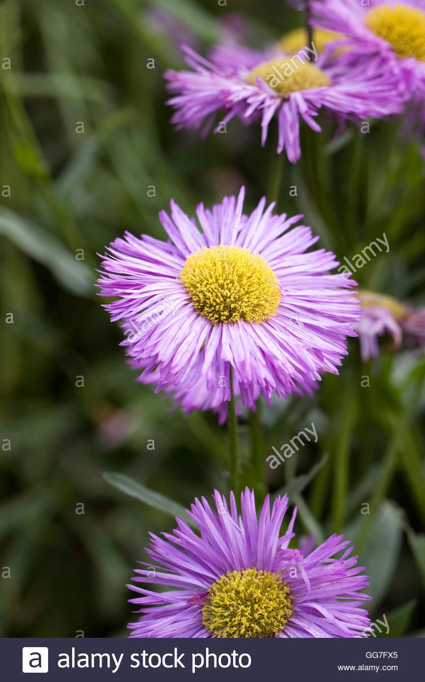 """Erigeron """"Wohlstand"""" Blume im Garten. Stockbild"""