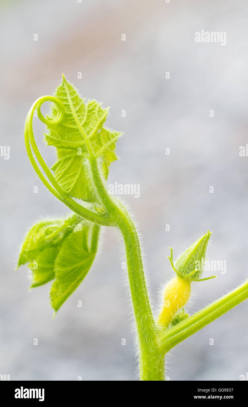 Nahaufnahme der Kürbis Weinstock mit unreifen Weibliche Blüte und kopieren Raum Stockbild