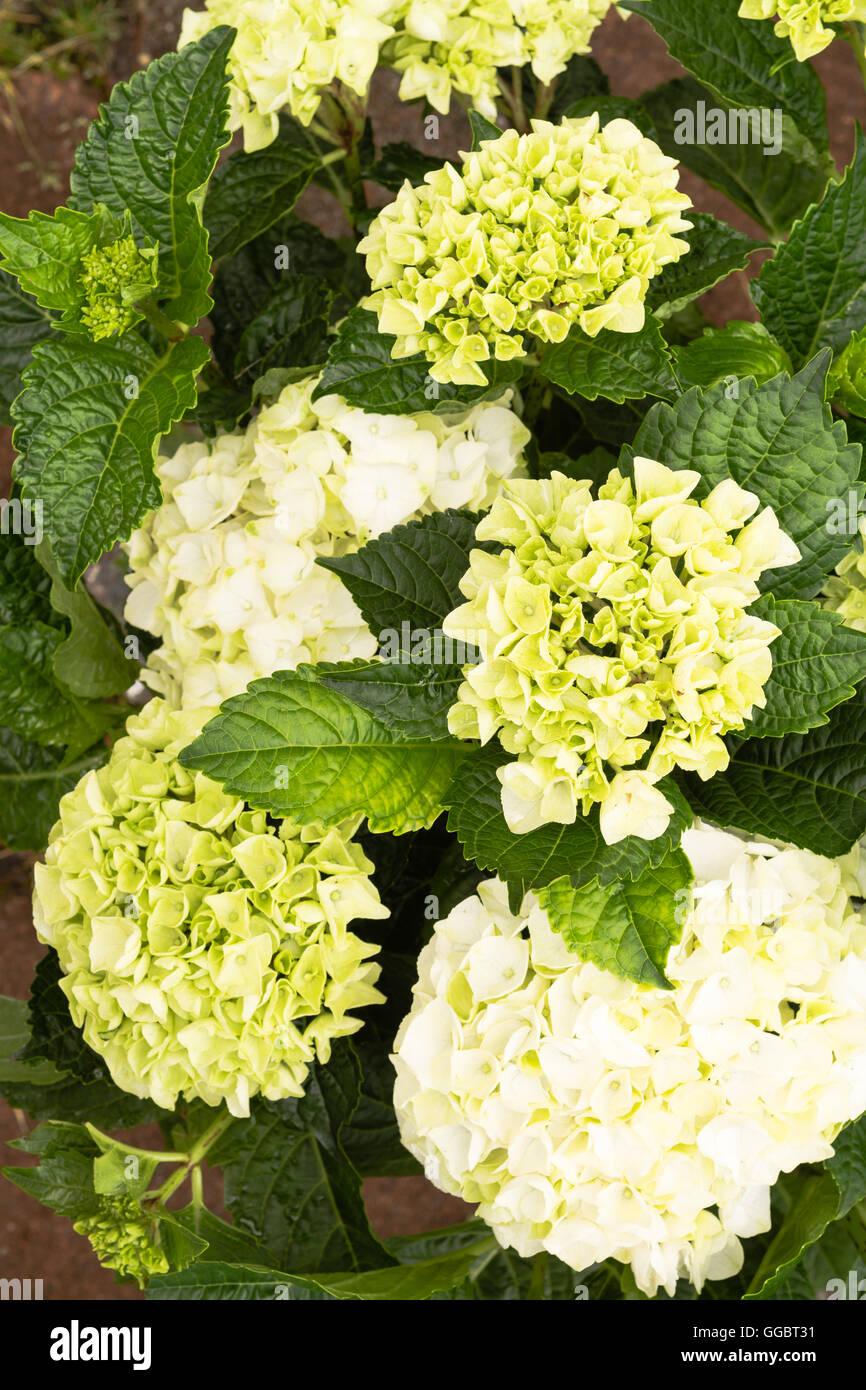 Hydrangea Macrophylla Strauchige Hortensie In Den Farben Grun Und