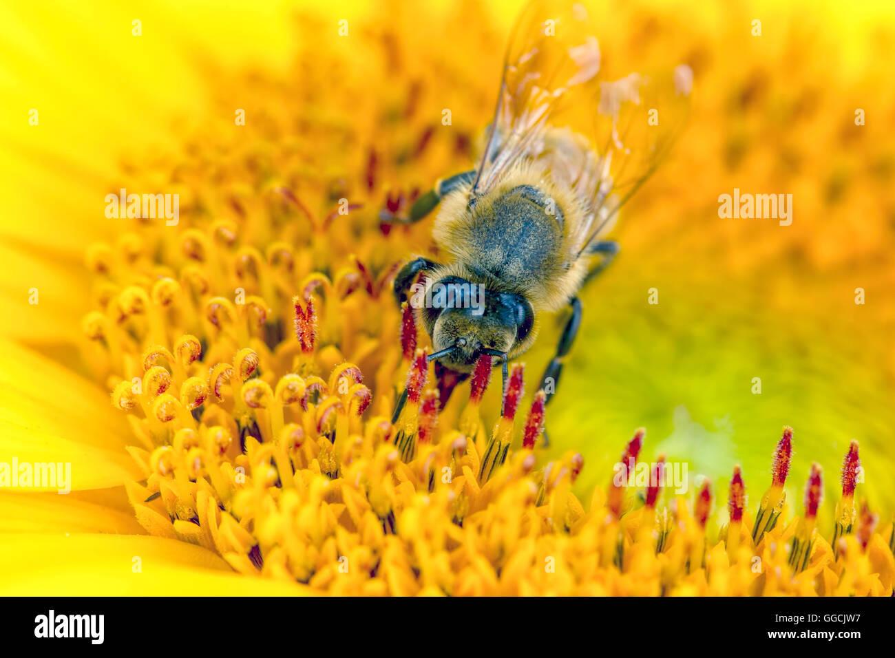 Makroaufnahme einer Biene auf Blüte. Stockbild