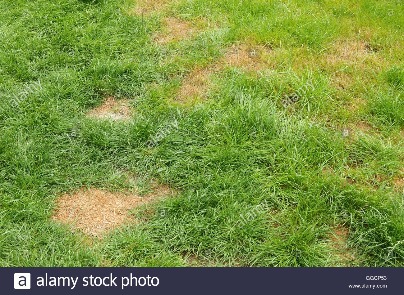 Fabelhaft Liegewiese mit braunen Flecken auf dem Rasen verursacht durch #AO_28