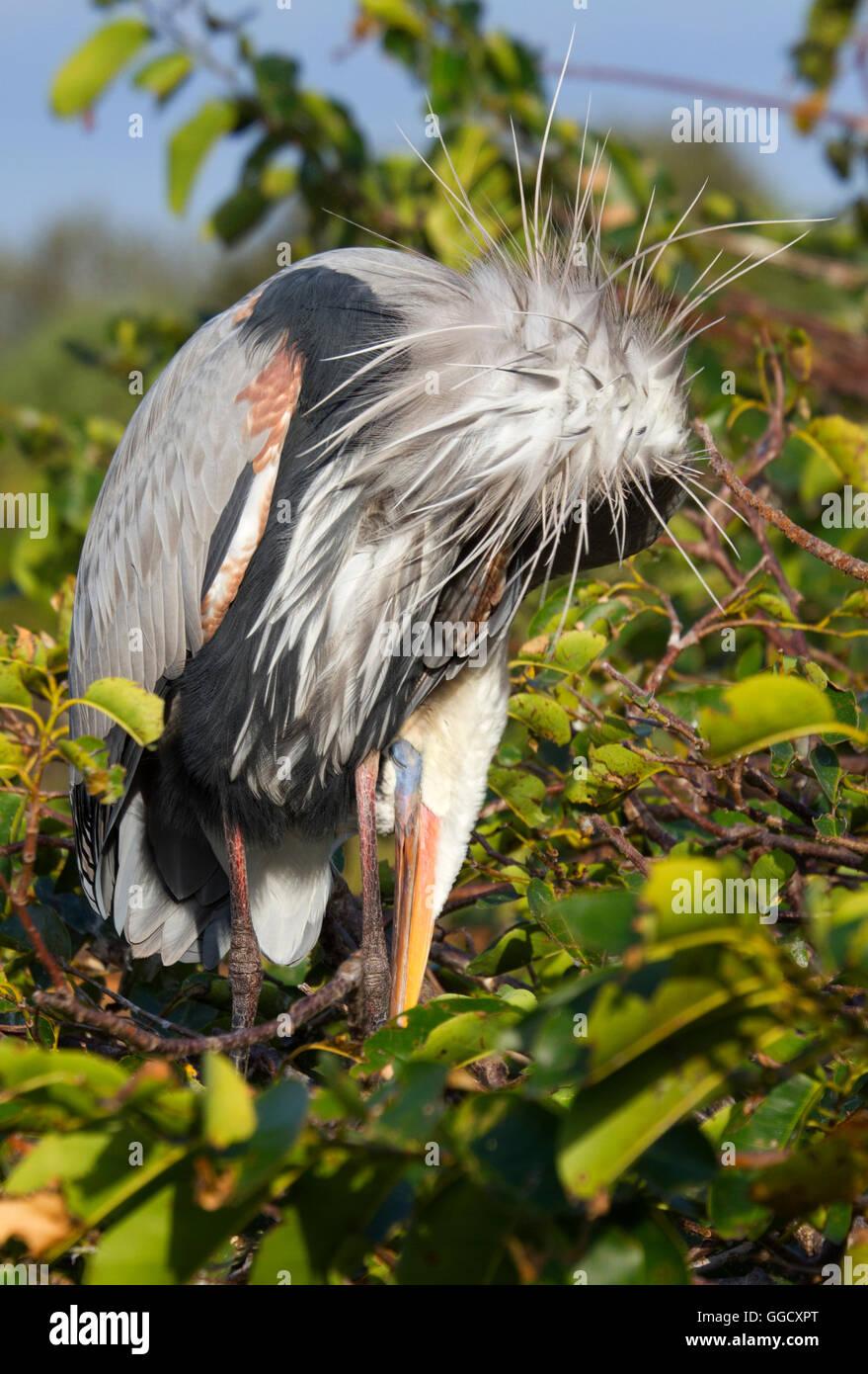 Great Blue Heron übernimmt Schlangenmensch Haltung beim Putzen! Stockbild
