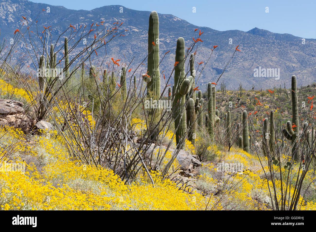 Brittlebrush Wildblumen und Ocotillo blühen in einem Wald von Saguaro Kaktus unter Rincon Spitze. Saguaro-Nationalpark, Stockfoto