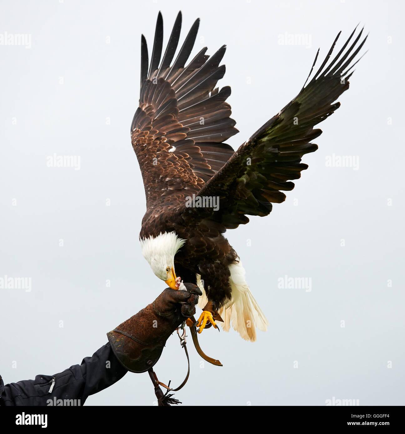 Adler mit ausgebreiteten Flügeln in einer Falknerei-show Stockbild