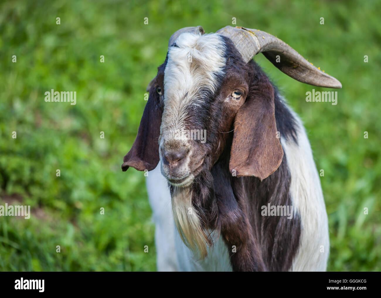 Zoologie, Säugetiere (Mammalia), Ziege auf einem Bauernhof in St. Jakob im Ahrntal (Ahrntal), Südtirol, Italien, Stockfoto