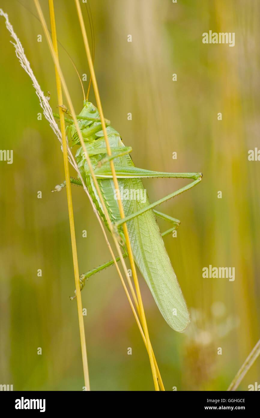 Super Green Bush - Kricket (Tettigonia Viridissima) Stockbild
