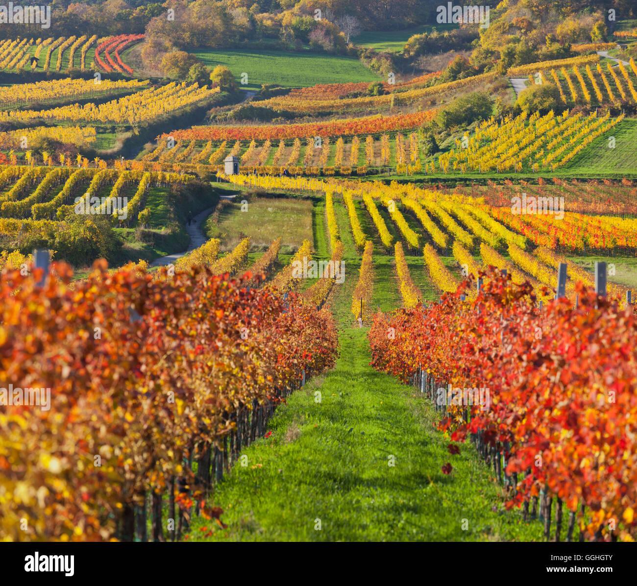 Herbstliche Reben, Weinberge, Baden Bei Wien, Südlichen