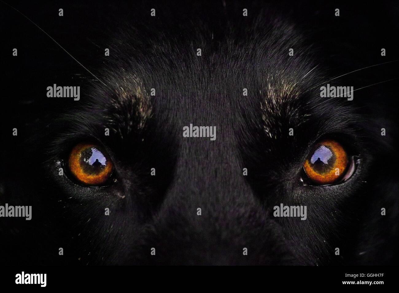 Schwarzer Hund Orange Augen Stockfotos Schwarzer Hund Orange Augen