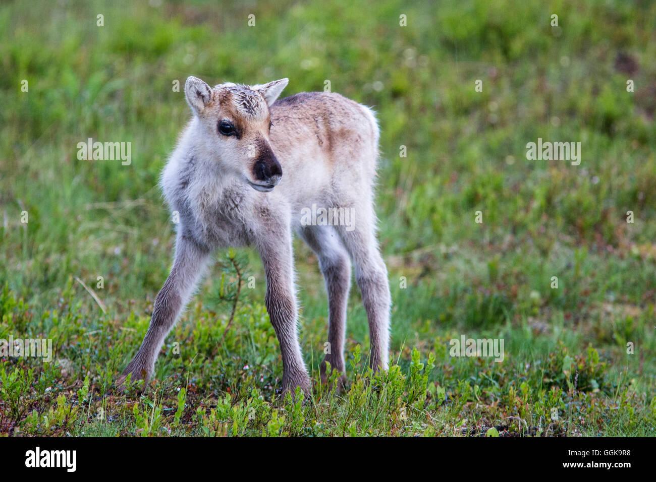 Junge Rentiere, Nationalpark Oulanka Österbotten, Nordfinnland Stockbild