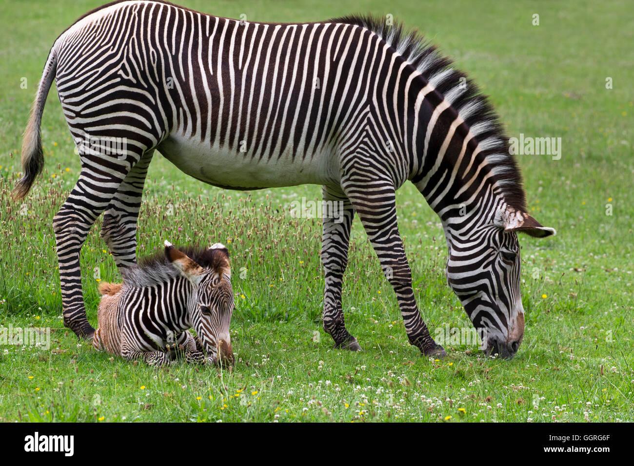 Grévy Zebras mit ihrem 3 Wochen alten Fohlen Stockfoto
