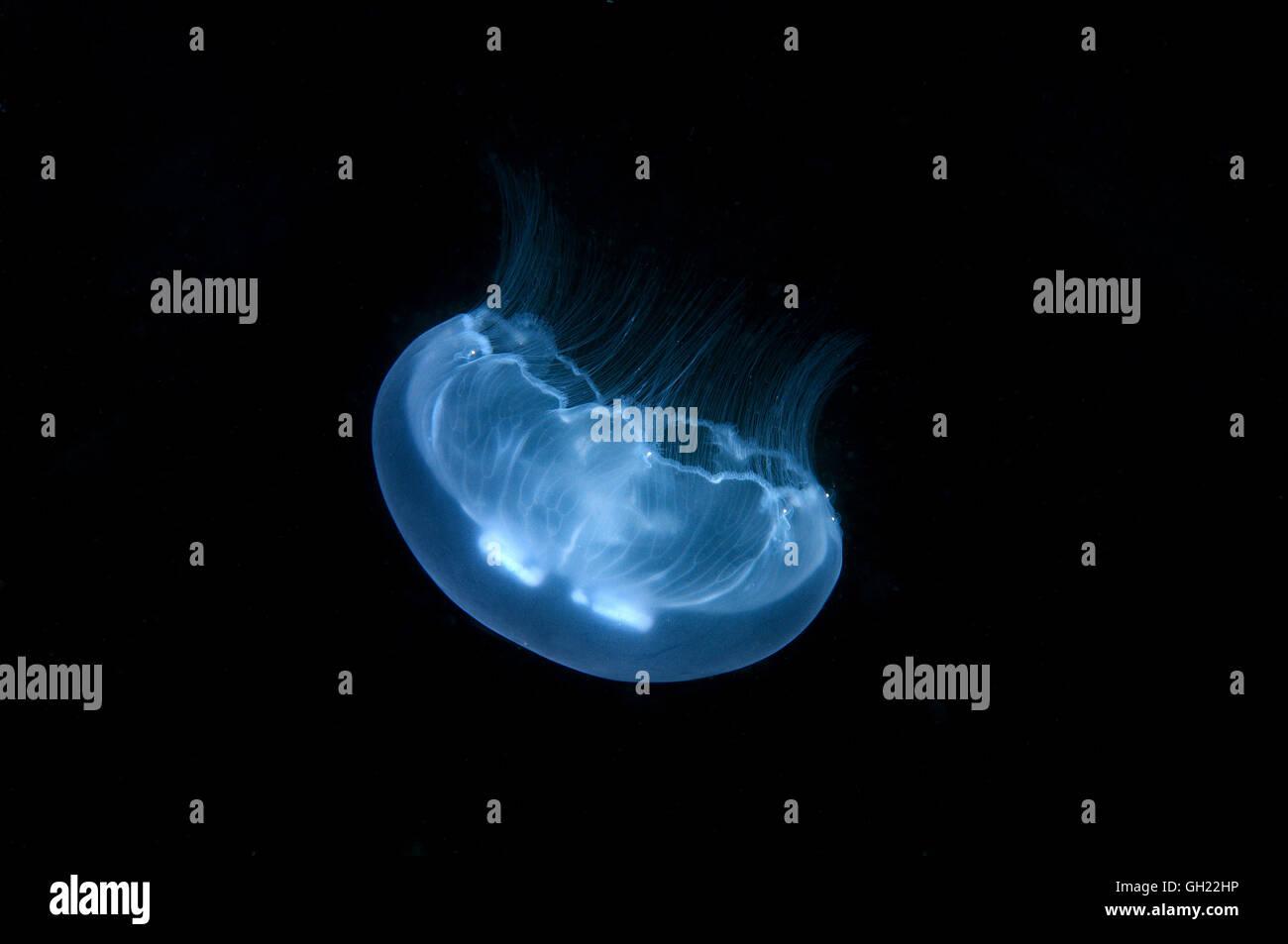 Mond-Gelee, gemeinsame Quallen oder Mond Qualle (Aurelia Golden) Schwarzmeer Stockfoto