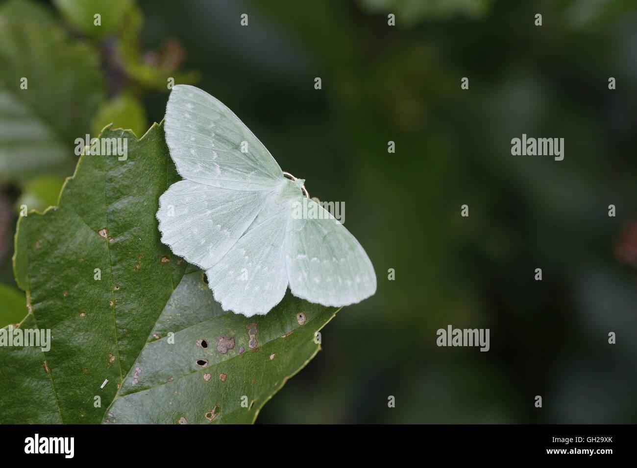 Großer Smaragd Moth, Geometra papilionaria Stockbild