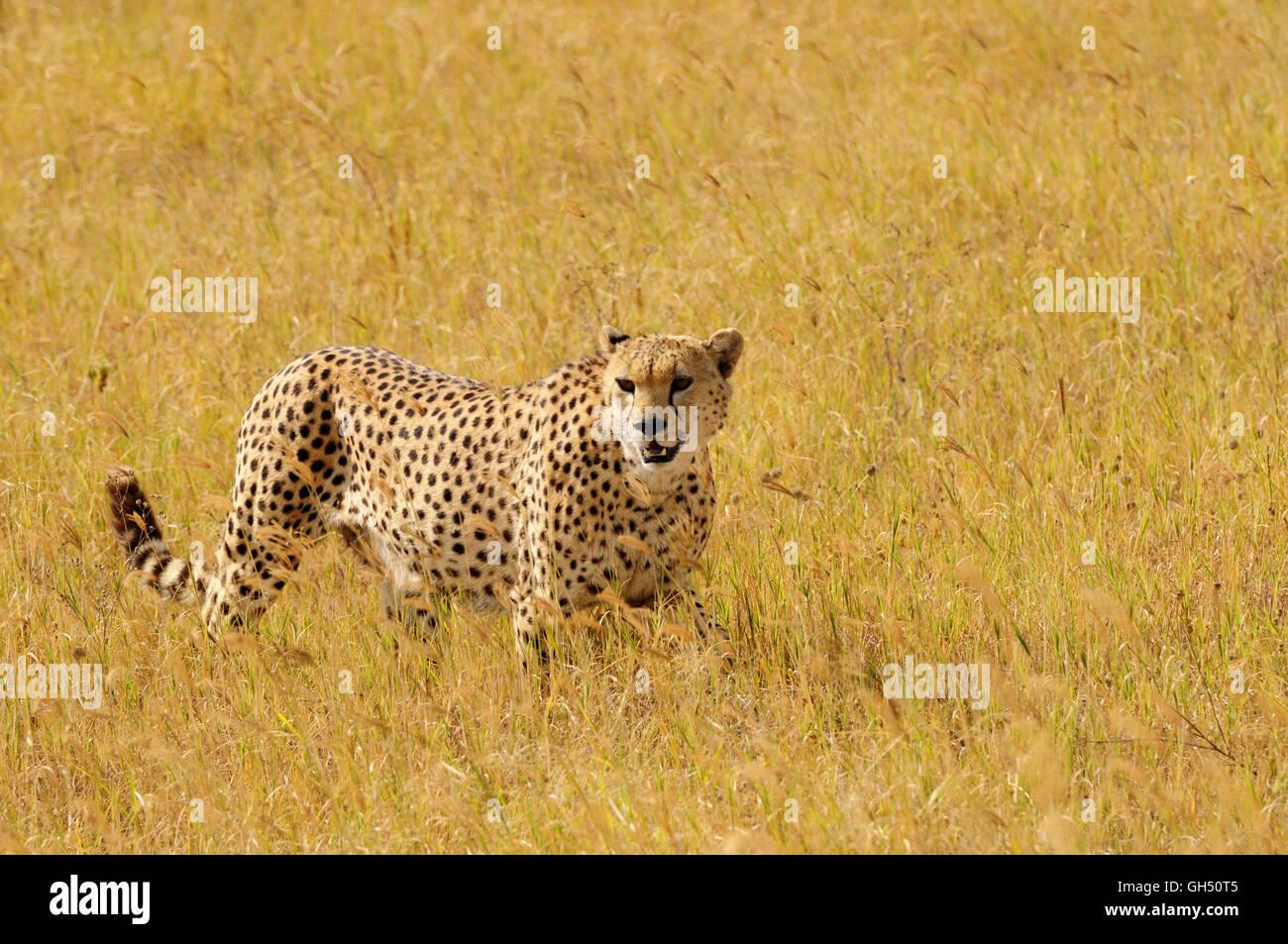 Zoologie/Tiere, Säugetiere (Mammalia), männliche Geparden (Acinonyx jubatus), Ngorongoro Krater, Ngorongoro Conservation Stockfoto