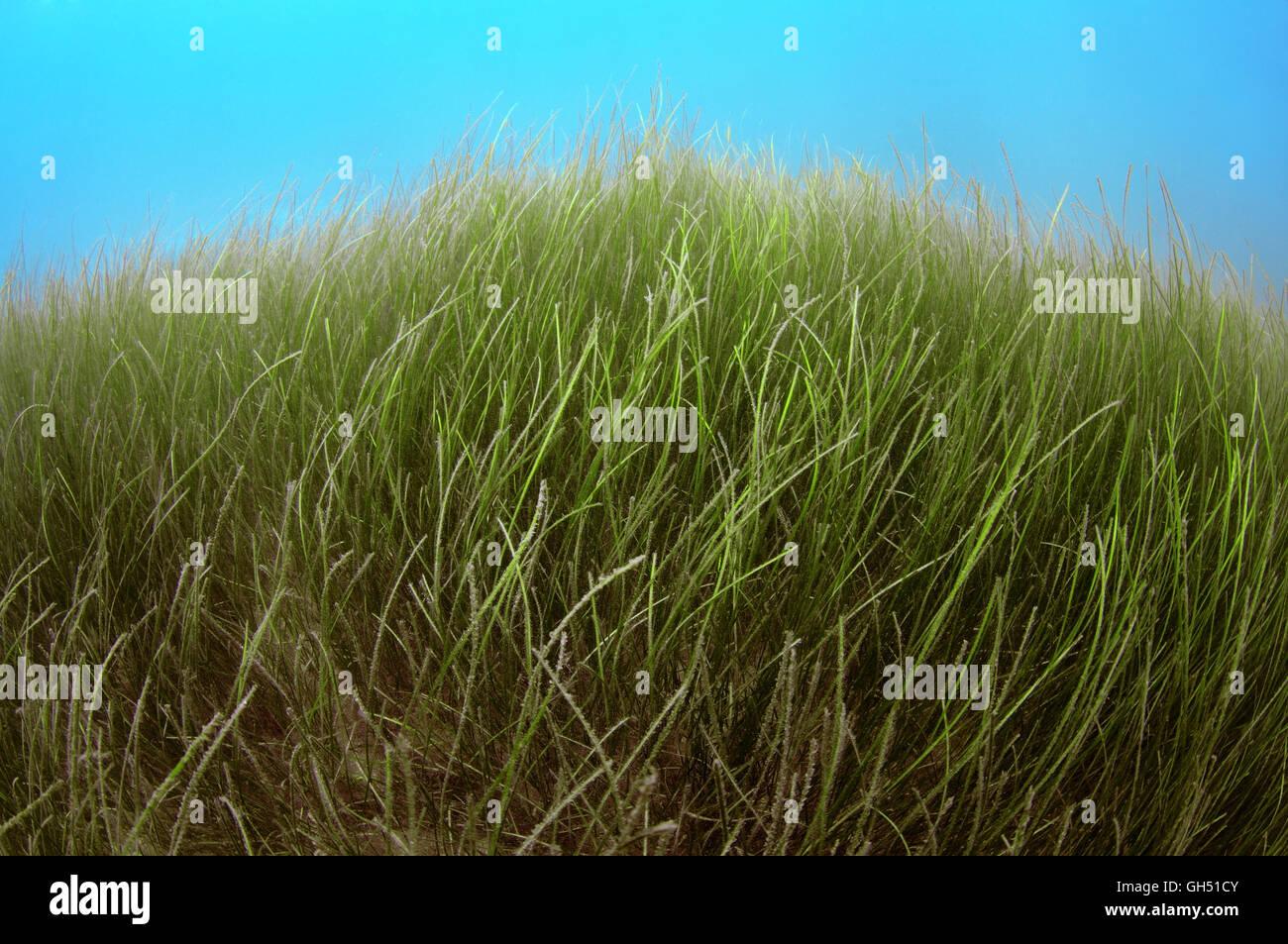 sea grass underwater stockfotos sea grass underwater bilder alamy. Black Bedroom Furniture Sets. Home Design Ideas