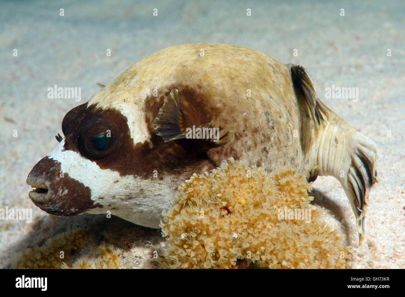 puffer fish africa stockfotos puffer fish africa bilder alamy. Black Bedroom Furniture Sets. Home Design Ideas