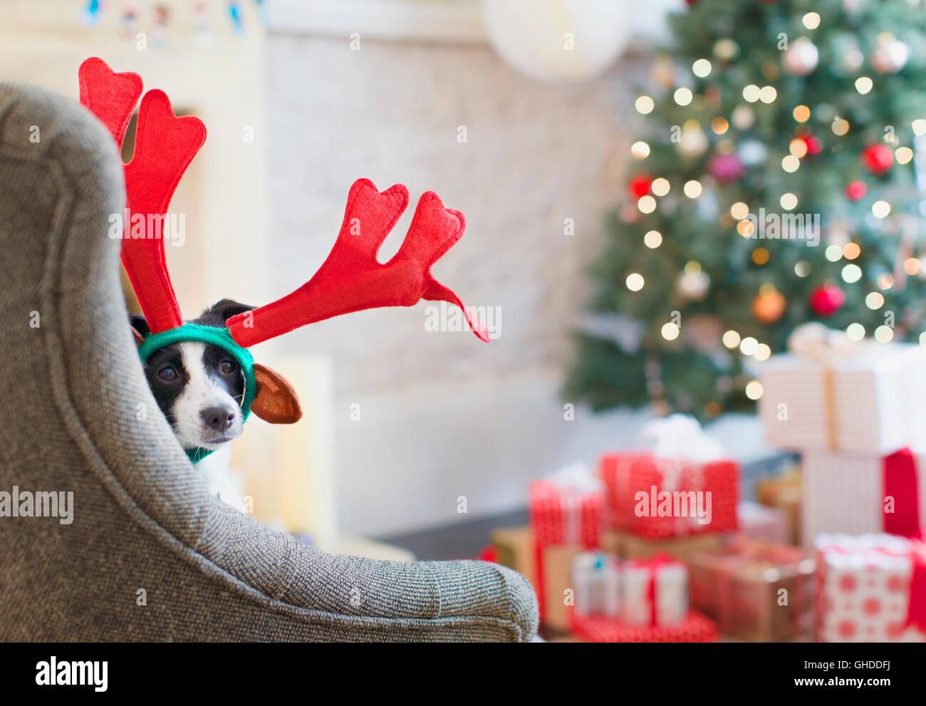 Portrait Hund trägt Rentier-Geweih Weihnachtsbaum Stockfoto, Bild ...