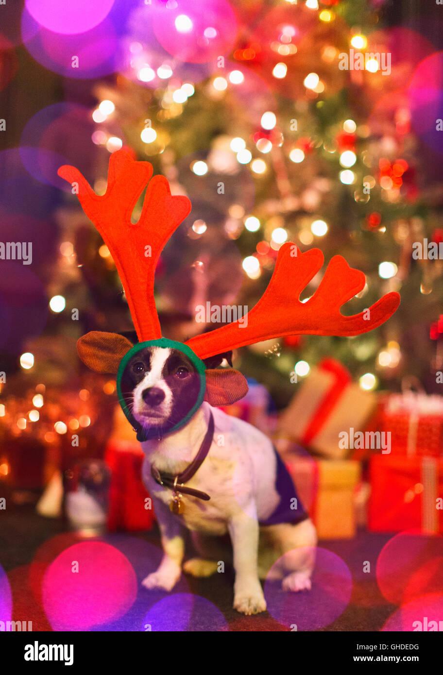 Porträt niedlichen Hund trägt Rentier-Geweih vor Weihnachtsbaum ...