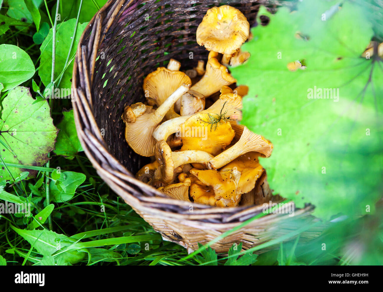 Korb mit frisch geernteten Pfifferlinge Pilze auf dem Rasen im Wald Stockbild