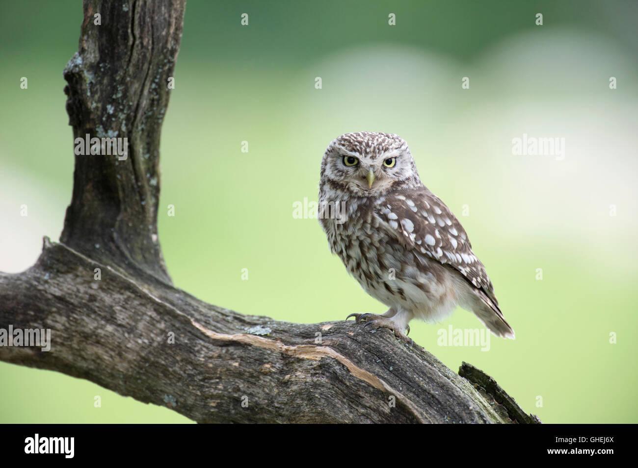 Steinkauz (Athene Noctua) - UK Stockbild
