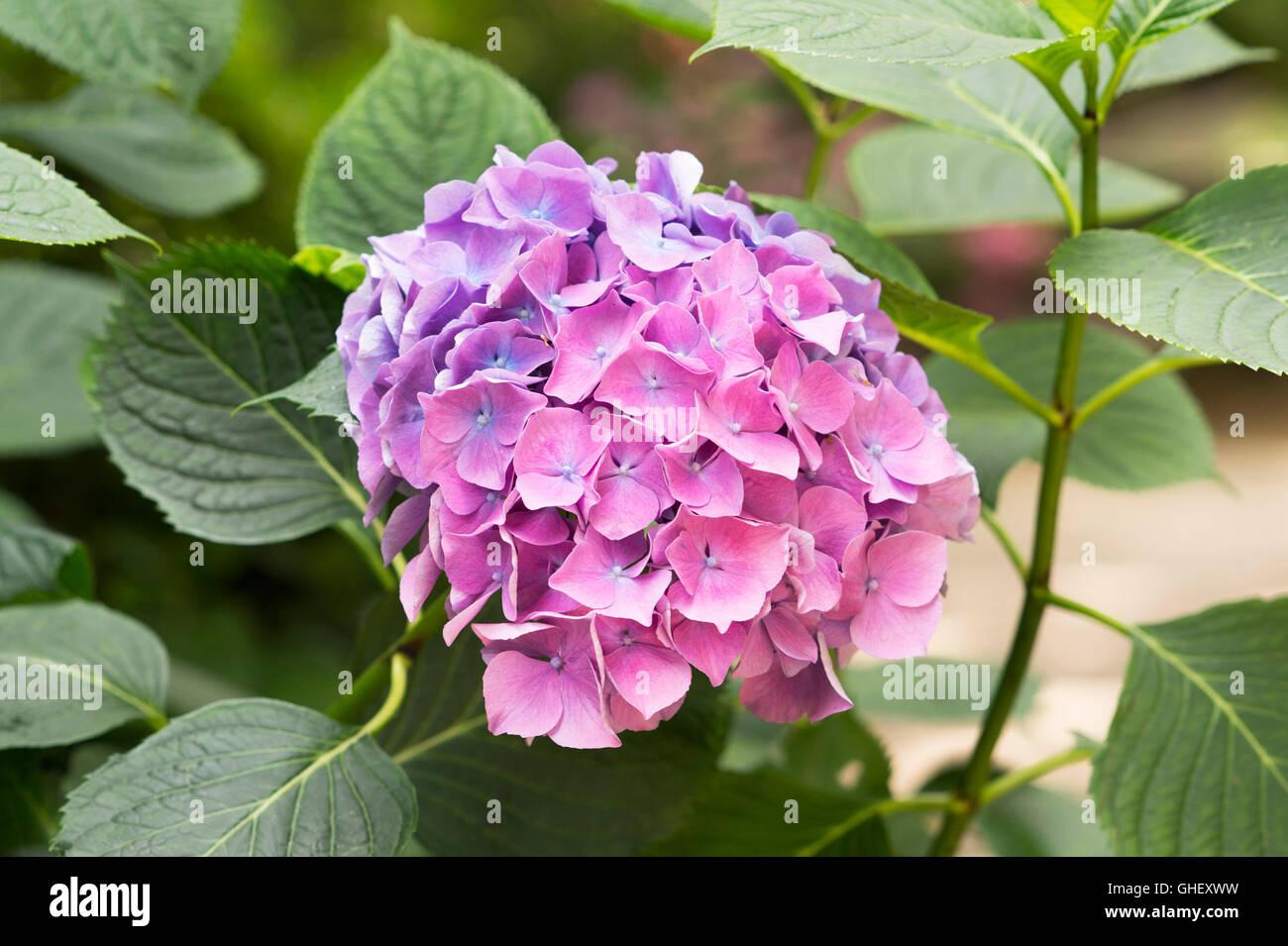 Hydrangea Macrophylla 'Flamboyant' blüht Stockbild