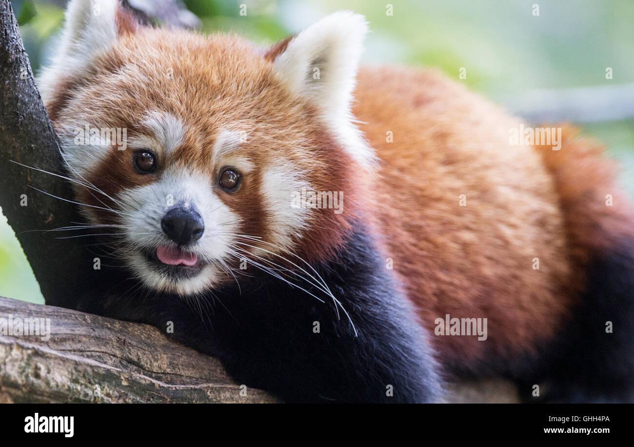 Berlin, Deutschland. 14. Sep, 2016. Ein roter Panda entspannt in seinem Tiergehege am Tierpark in Berlin, Deutschland, Stockbild