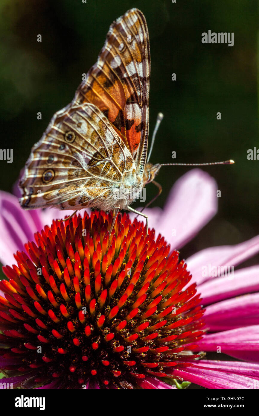 Bemalte Dame Schmetterling Vanessa cardui auf lila Blume Echinacea purpurea Stockfoto