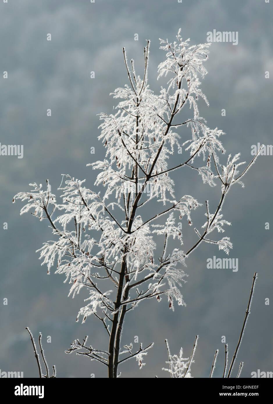 Frost am Strauch östlichen Rhodopen Bulgarien Stockbild