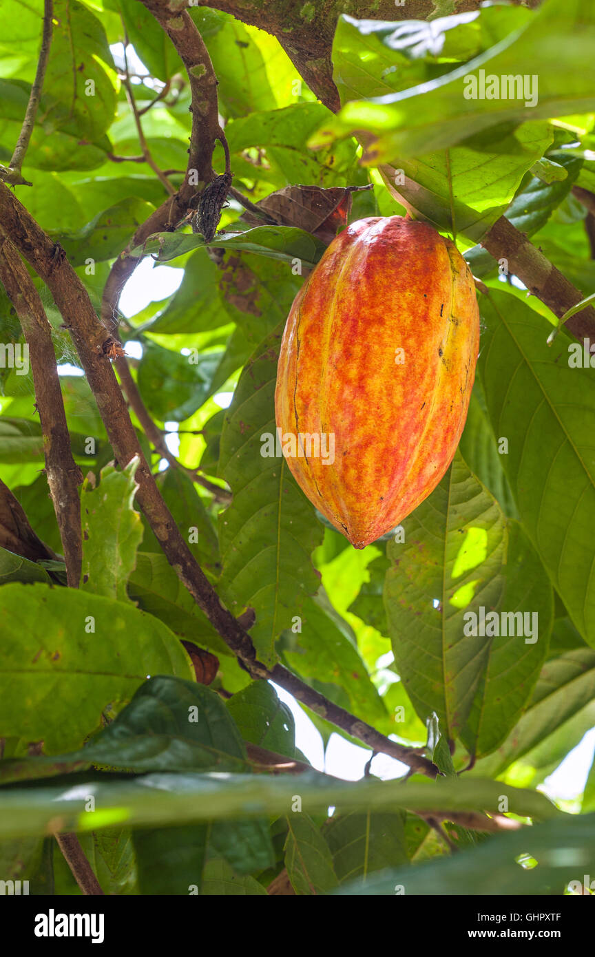 cacao tree stockfotos cacao tree bilder alamy. Black Bedroom Furniture Sets. Home Design Ideas
