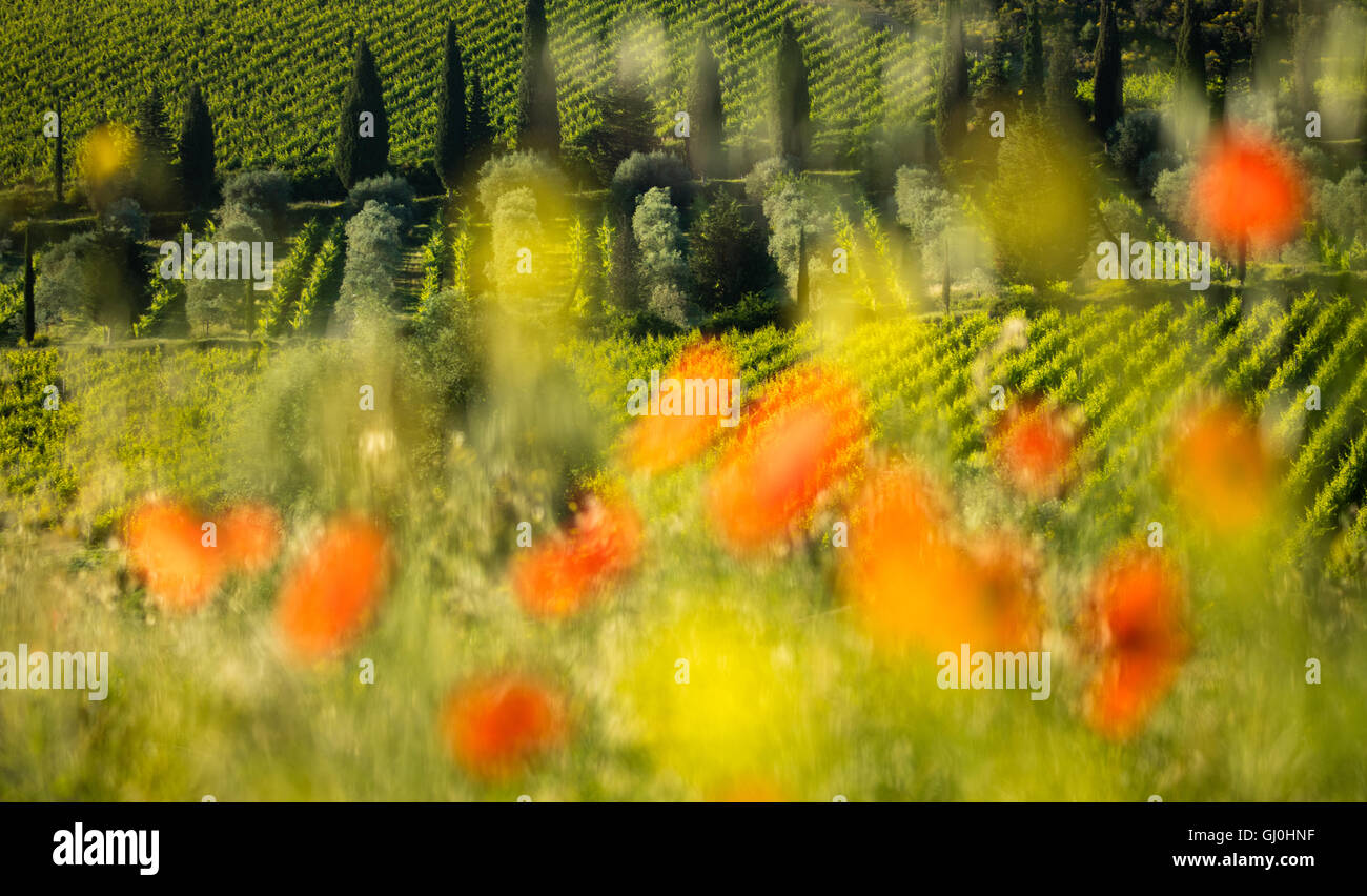 Mohn und Weinberge in der Nähe von Castelnuovo dell'Abate, Montalcino, Toskana, Italien Stockbild