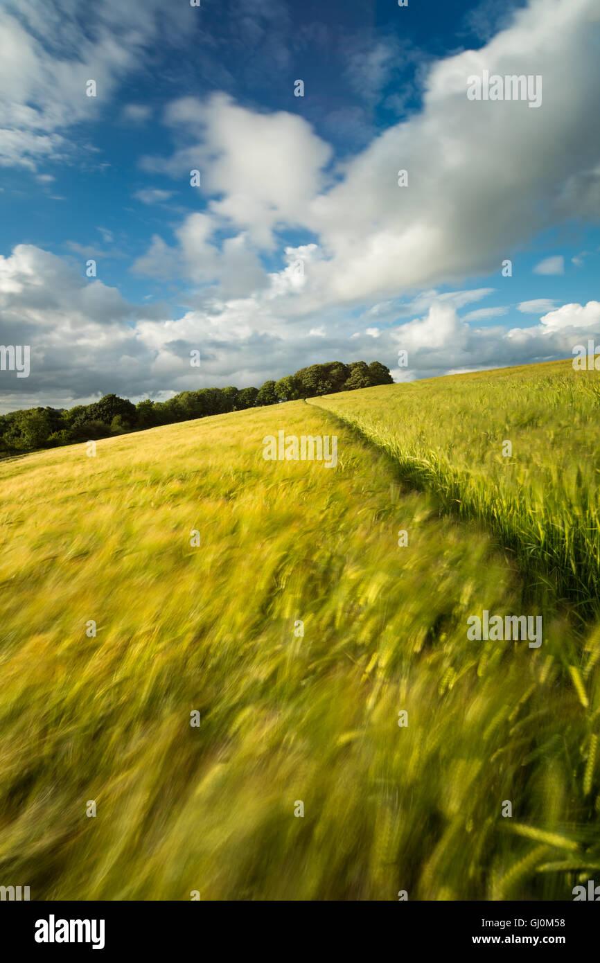 ein Gerstenfeld in der Nähe von Cerne Abbas, Dorset, England Stockbild