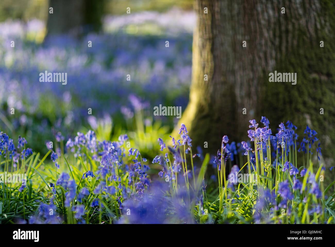Glockenblumen in den Wäldern in der Nähe von Minterne Magna, Dorset, England Stockbild