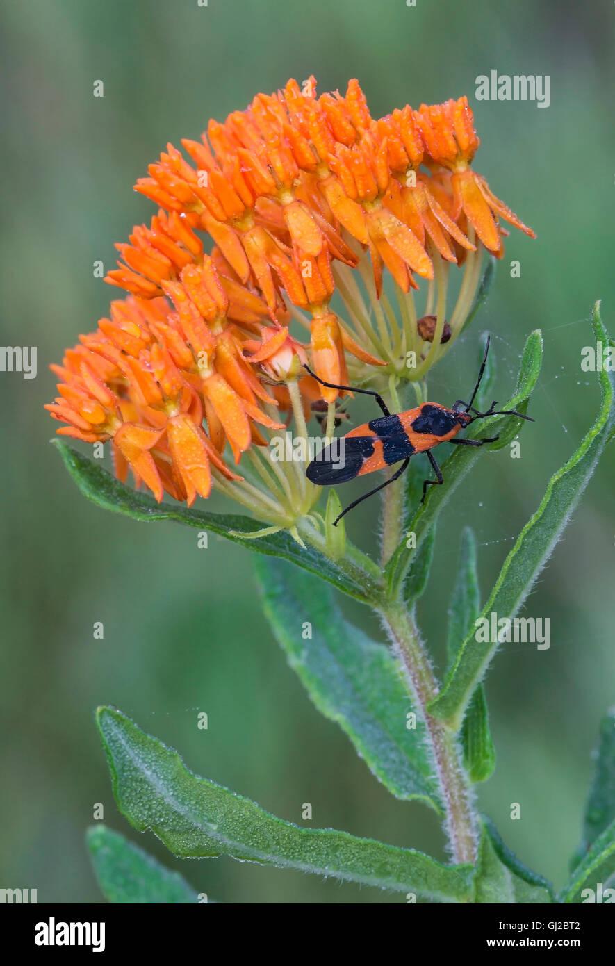 Große Wolfsmilch Bug (Oncopeltus Fasciatus) auf Schmetterling Seidenpflanze (Asclepias Tuberosa) Blumen E USA Stockbild