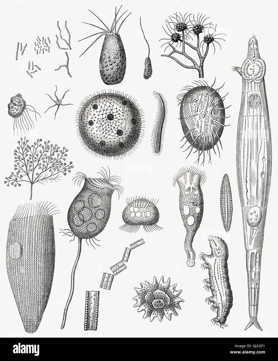 Diatomeen, Gruppe von Algen, Stramenopila Stockbild