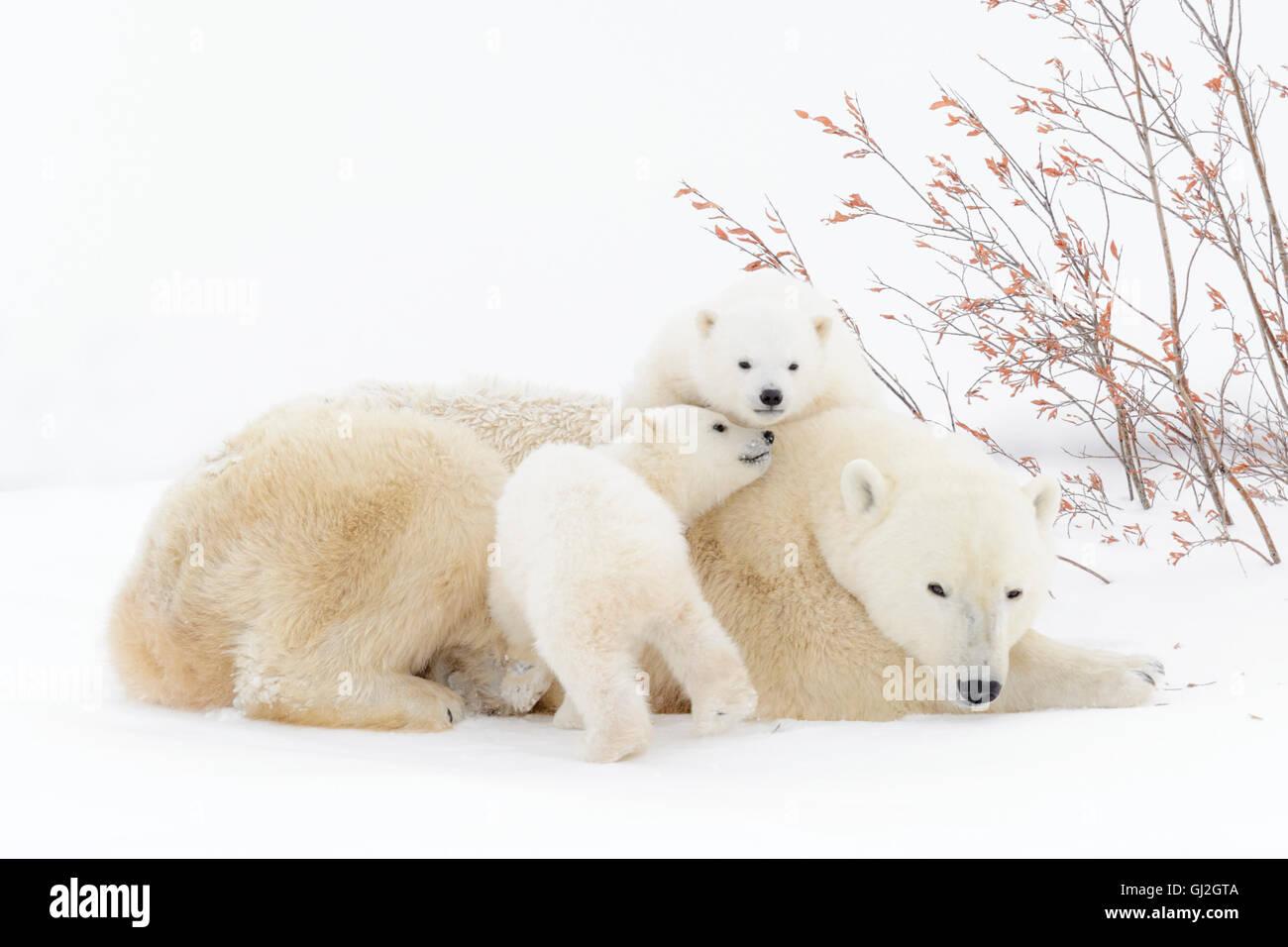 Eisbär-Mutter (Ursus Maritimus) liegend mit zwei spielenden Jungen, Wapusk-Nationalpark, Manitoba, Kanada Stockfoto